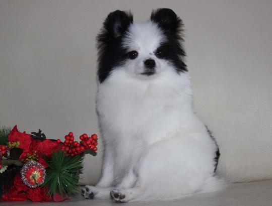 РОСИНКА - щенок померанского шпица