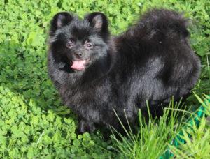 ЭЛАЙДЖА - щенок померанского шпица
