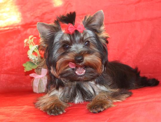 СИНЬОРА - щенок йоркширского терьера