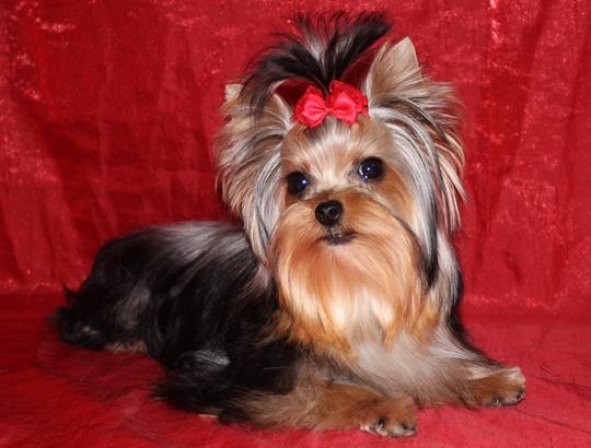 купить щенка йоркширского терьера мини 89057371030