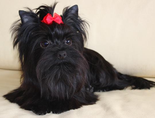 ЗЕВС - щенок йоркширского терьера черного окраса