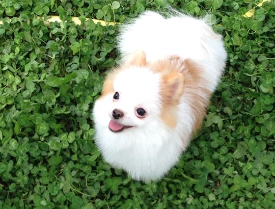 ТЕДДИ — щенок померанского шпица