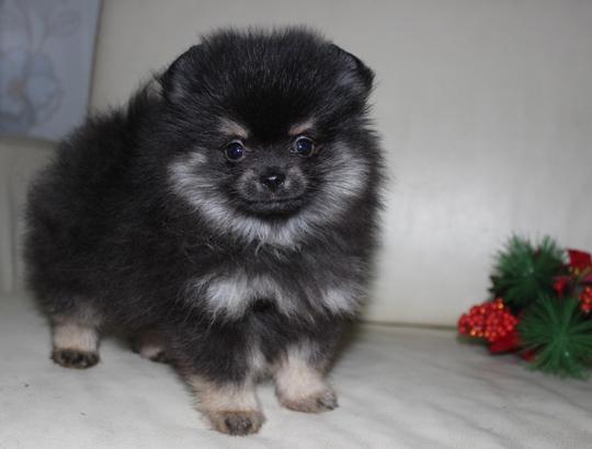ГРАФ - щенок померанского шпица