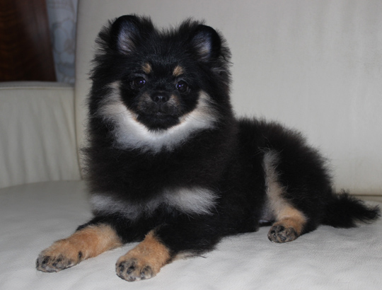 ФЛОРА - щенок померанского шпица