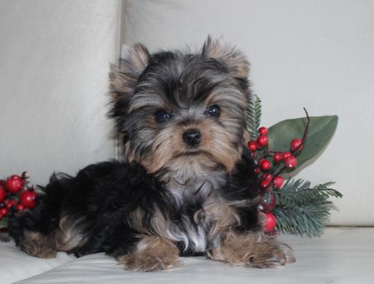 ДУШЕЧКА - щенок йоркширского терьера