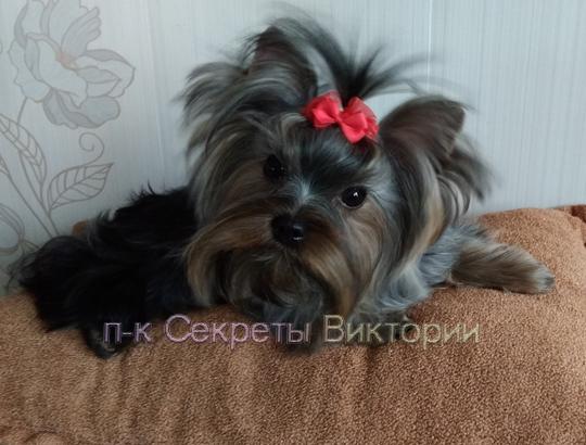 СИЛЬВА - щенок йоркширского терьера