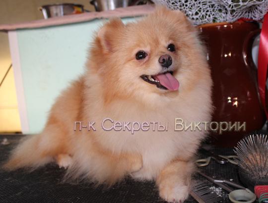 ГРЕТТА - щенок померанского шпица