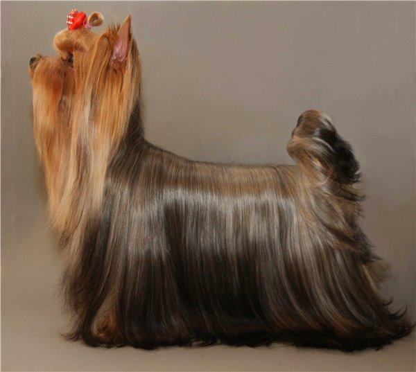 выставочный груминг собак