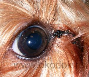 глаза собаки уход за глазами