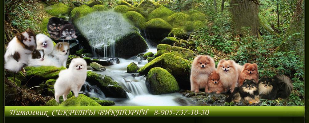 Померанский шпиц. Питомник СЕКРЕТЫ ВИТКТОРИИ 8-905-737-10-30